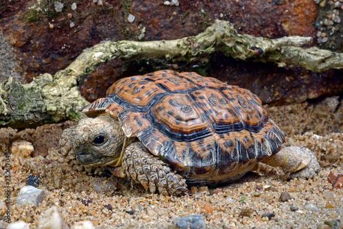 Gesägte Flachschildkröte (Homopus signatus) - Speckled Cape Tortoise