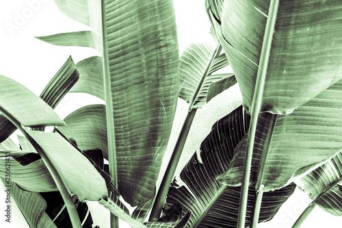 Liście bananowca