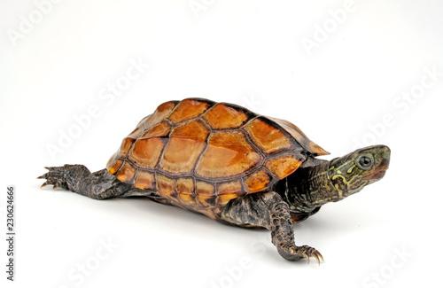 Fototapeta premium Chinesische Dreikielschildkröte (Mauremys reevesii) - Chinese pond turtle