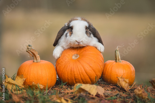 Little rabbit with a pumpkins in autumn