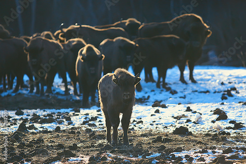 Wallpaper Mural Aurochs bison in nature / winter season, bison in a snowy field, a large bull bu