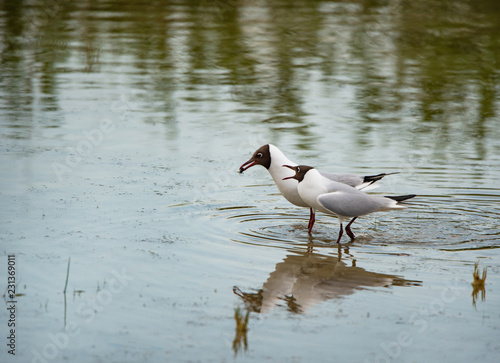 two black-headed gulls standing in the lake and squarreling - nationalpark Neusiedlersee Seewinkel Burgenland Austria