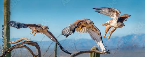 Obraz na plátně Ferruginous Hawk on branch in Sonoran Desert Flying Sequence