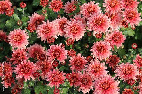 Fotografia Hardy chrysanth (Chrysanthemum koreanum) or Hardy Mum