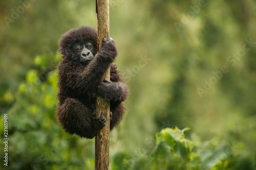 Obraz na płótnie Wild mountain gorilla in the nature habitat