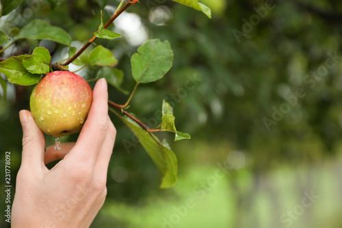 Woman picking ripe apple from tree in garden, closeup Fototapeta