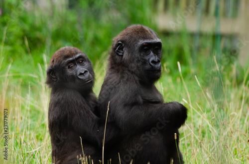Canvas Print Baby western lowland gorilla