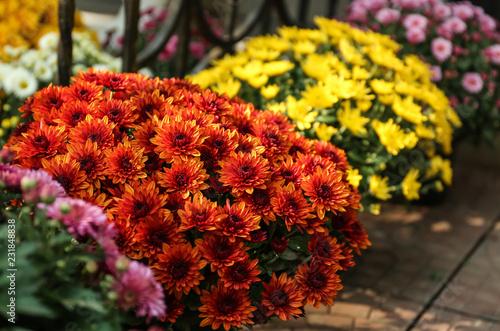 Fotografering Pots with beautiful chrysanthemum flowers