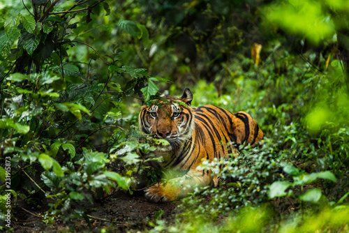 Fotografering Asian tiger in tropical forest