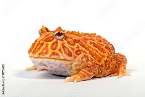 Fototapeta premium Strawberry Schmuckhornfrosch (Ceratophys cranwelli) - rogata żaba Cranwella