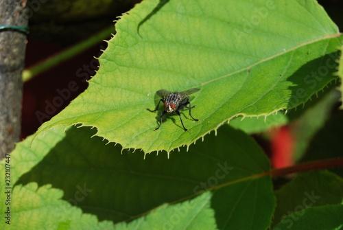 Bremse (Tabanidae)