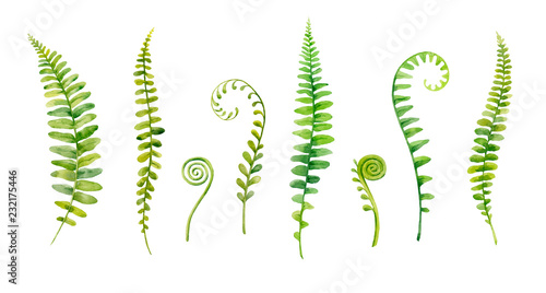Fotografie, Obraz Watercolor hand painted leaves of fern plants on white background