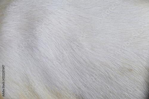 macro white goat hair
