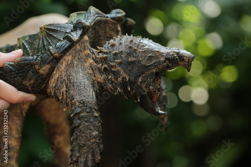 Hand holding Alligator snapping turtle Fototapete
