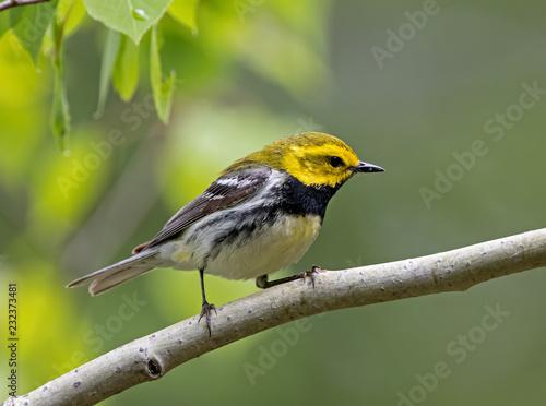 Obraz na plátně Black-throated Green Warbler
