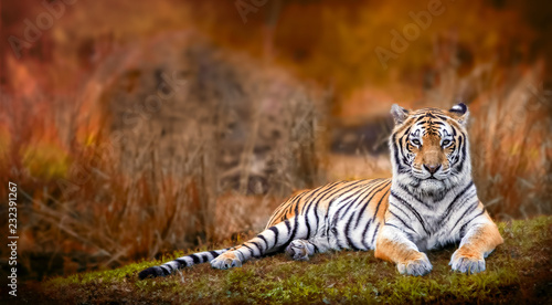 Fotografering Bengal tiger stare with orange background