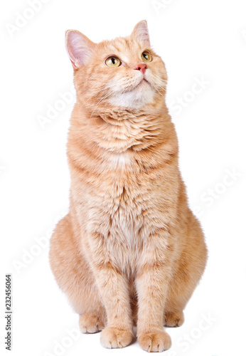 Fotografija Looking up cute red cat isolated on white background.