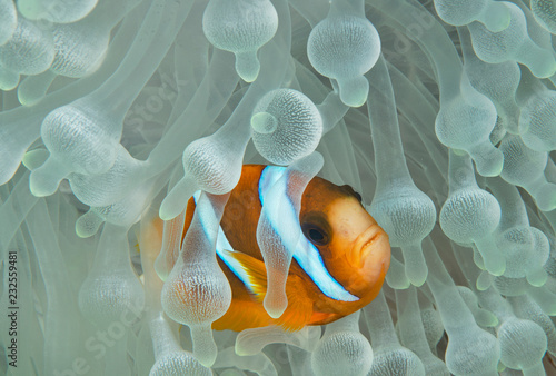 Wallpaper Mural Clownfish in bleached anemone
