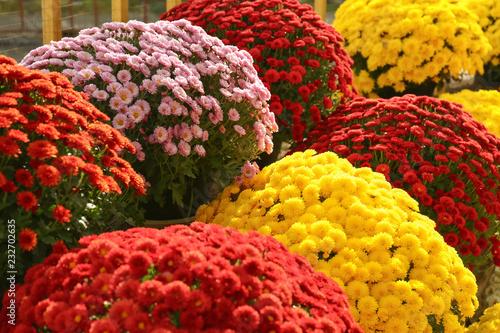 View of fresh beautiful colorful chrysanthemum flowers Fototapete