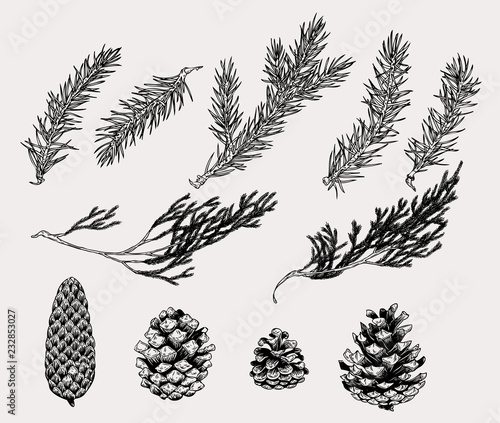 Stampa su Tela Botanical illustration of winter plants and cones in vintage style