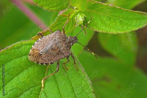 Canvas Worldwide pest brown marmorated stink bug Halyomorpha halys (adult)