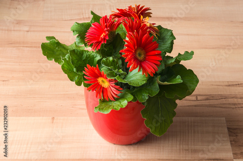 red gerbera daisy plant with flowers in bloom on wooden laminate flooring Fototapeta