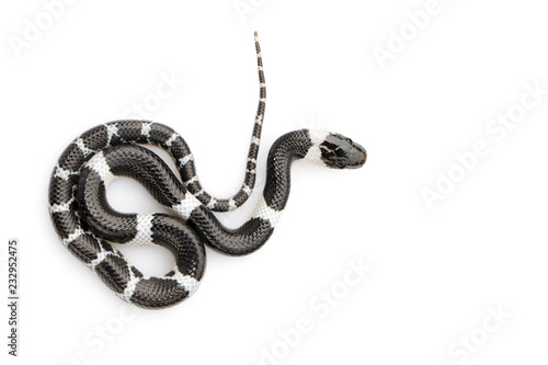 Image of little snake (Lycodon laoensis) on white background., Reptile,. Animals
