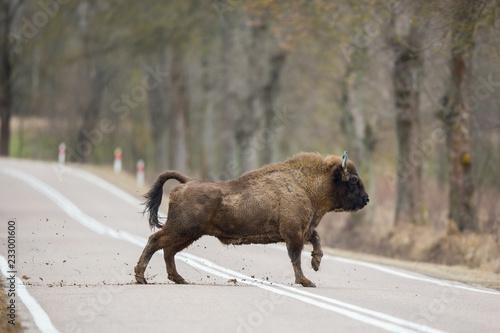 Canvas Print European bison - Bison bonasus in the Knyszyn Forest (Poland)