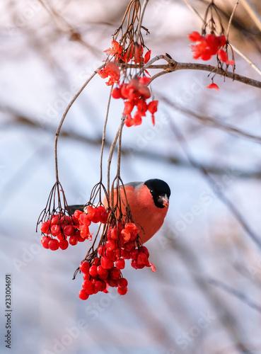 Fotografia red bullfinch on the twig