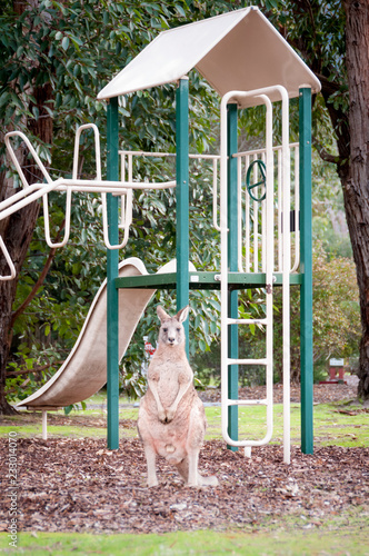 Kangoroo on playground Grampians National Park