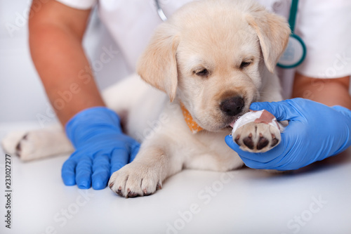 Cute puppy dog licking the bandage on its paw - at the veterinary care Fototapete