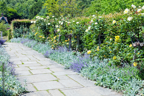 Fotografia Colourful secluded garden in bloom, with white and yellow roses, purple catnip g