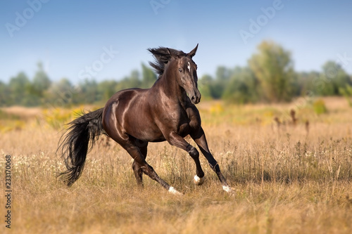 Canvastavla Black horse run gallop in autumn meadow