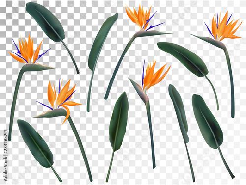 Fotografia Strelitzia Reginae flower vector illustration collection isolated on transparent