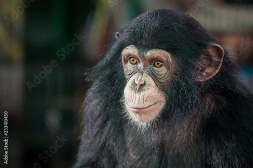 Chimpanzee cute. Fototapeta