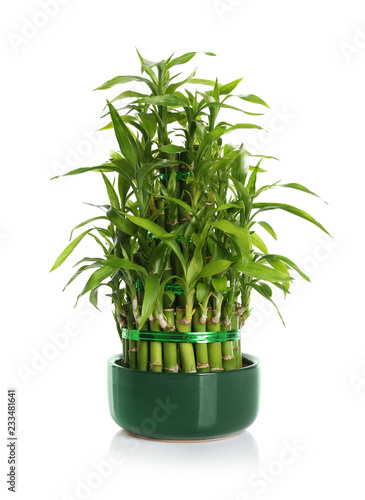 Pot with green bamboo on white background
