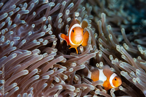 Tableau sur Toile Cute, friendly Clownfish in an anemone on a tropical coral reef