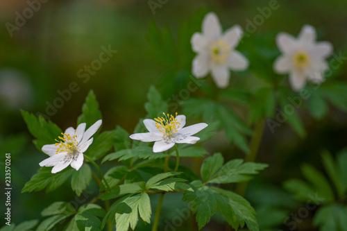 Slika na platnu Macro shot of Anemone nemorosa flower.Selective focus