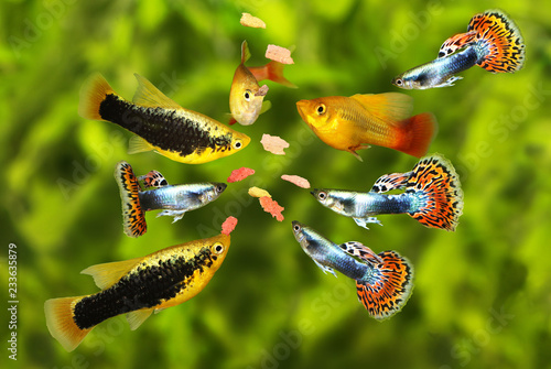 Feeding swarm  tetra aquarium fish eating flake food