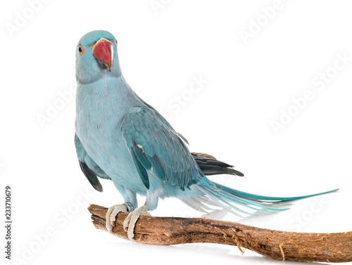 Fotografia Rose-ringer parakeet in studio