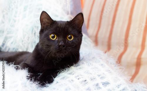 Fotografia black cat at home