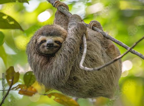 Canvas Print Three Toed Sloth in Costa Rica