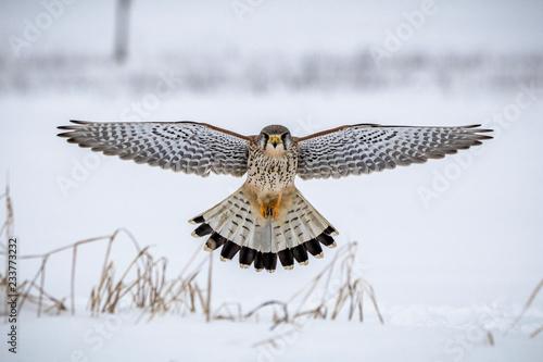 Fototapeta hawk hovering