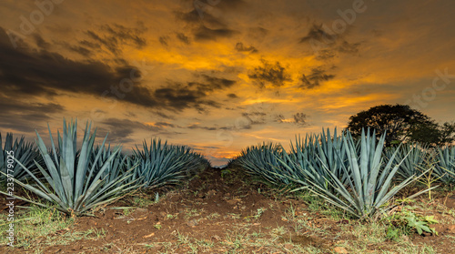 Fotografie, Obraz Tequila agave  lanscape sunset