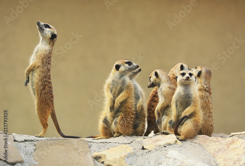 Photo Group of watching surricatas outdoor