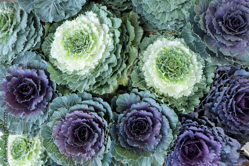 Ornamental Cabbages Brassica Oleracea decorative cabbage flowers background from the top view.