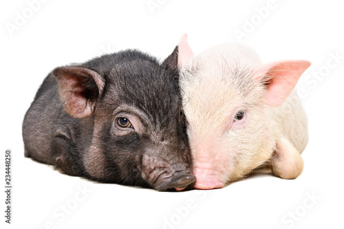 Portrait of two Vietnamese pigs lying huddled together isolated on white background