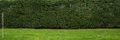 Fototapeta Hedge wall backdrop panorama