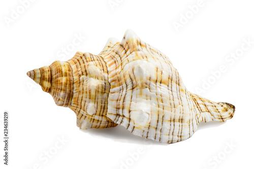 Pleuroploca trapezium, trapezium horse conch shell isolated on white Fototapet