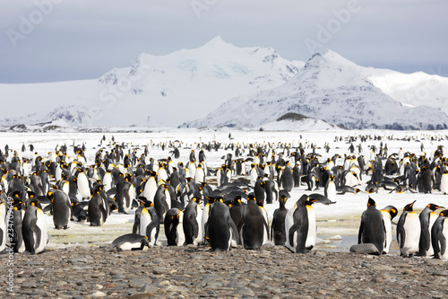 Photographie A colony of king penguins on Salisbury Plain on South Georgia in the Antarctic